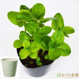 イエルバブエナ ミント 栽培 セット / ハーブ / 軽量 プラスチック 鉢 プランター