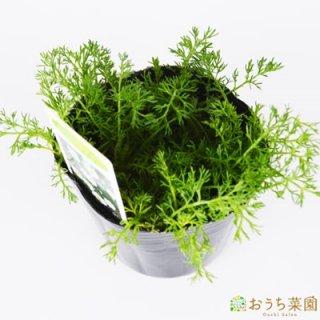 ローマン カモミール / 苗 / ハーブ 野菜 / 9cm ポット