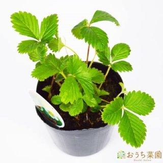 ワイルドストロベリー 赤実 / 苗 / ハーブ 野菜 / 9cm ポット
