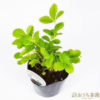 ワイルドストロベリー 白 いちご / 苗 / ハーブ 野菜 / 9cm ポット