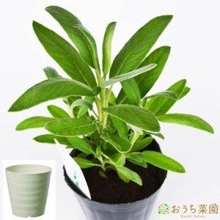 コモン セージ 栽培 セット / ハーブ / 軽量 プラスチック 鉢 プランター