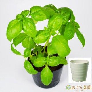 スイートバジル 栽培 セット / ハーブ / 軽量 プラスチック 鉢 プランター