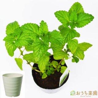 レモンバーム 栽培 セット / ハーブ / 軽量 プラスチック 鉢 プランター