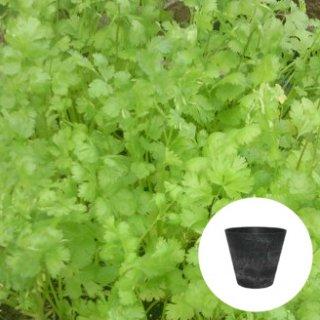 コリアンダー パクチー 栽培 セット / ハーブ / アートストーン 鉢 プランター / 貯水機能 付