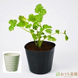 コリアンダー パクチー 栽培 セット / ハーブ / 軽量 プラスチック 鉢 プランター