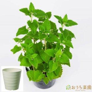 キャットニップ 栽培 セット / ハーブ / 軽量 プラスチック 鉢 プランター