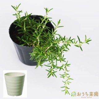 ローズマリー 這性 栽培 セット / ハーブ / 軽量 プラスチック 鉢 プランター