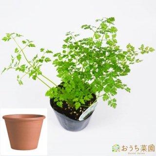 チャービル 栽培 セット / ハーブ  / テラコッタ 鉢 プランター / 鉢受皿 付