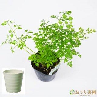 チャービル 栽培 セット / ハーブ / 軽量 プラスチック 鉢 プランター
