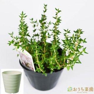 コモン タイム 栽培 セット / ハーブ / 軽量 プラスチック 鉢 プランター