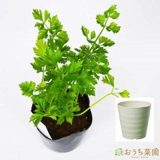 スープセロリ ハーブ セロリ 栽培 セット / ハーブ / 軽量 プラスチック 鉢 プランター