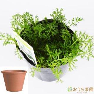 ローマンカモミール 栽培 セット / ハーブ  / テラコッタ 鉢 プランター / 鉢受皿 付