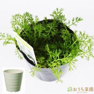 ローマンカモミール 栽培 セット / ハーブ / 軽量 プラスチック 鉢 プランター