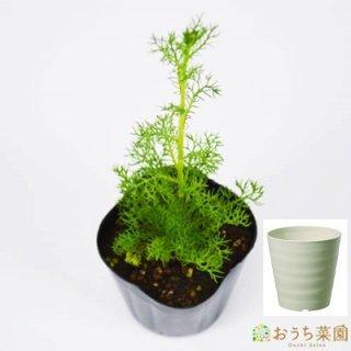 ジャーマンカモミール 栽培 セット / ハーブ / 軽量 プラスチック 鉢 プランター