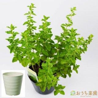 オレガノ 栽培 セット / ハーブ / 軽量 プラスチック 鉢 プランター