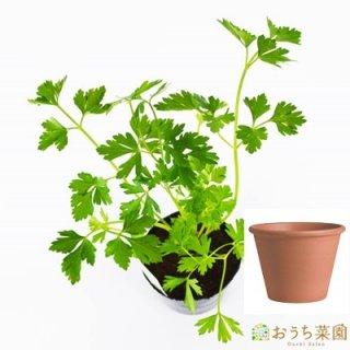 イタリアン パセリ 栽培 セット / ハーブ  / テラコッタ 鉢 プランター / 鉢受皿 付