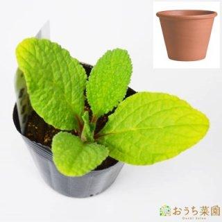 ボリジ 栽培 セット / ハーブ  / テラコッタ 鉢 プランター / 鉢受皿 付