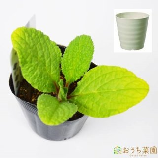 ボリジ 栽培 セット / ハーブ / 軽量 プラスチック 鉢 プランター