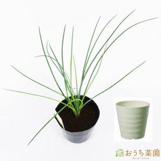 チャイブ 栽培 セット / ハーブ / 軽量 プラスチック 鉢 プランター