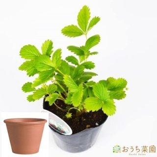 ワイルドストロベリー 白 いちご 栽培 セット / ハーブ  / テラコッタ 鉢 プランター / 鉢受皿 付
