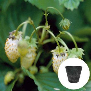 ワイルドストロベリー 白 いちご 栽培 セット / ハーブ / アートストーン 鉢 プランター / 貯水機能 付