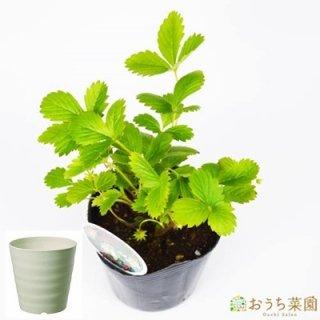 ワイルド ストロベリー ( 白実 ) 栽培 セット / ハーブ / 軽量 プラスチック 鉢 プランター