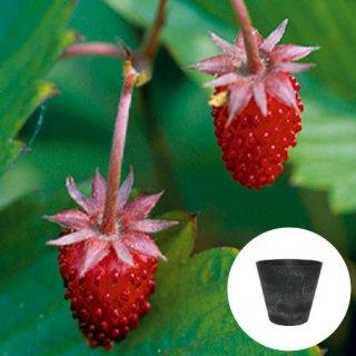 ワイルドストロベリー 赤 いちご 栽培 セット / ハーブ / アートストーン 鉢 プランター / 貯水機能 付