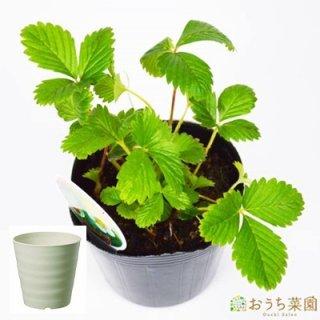 ワイルドストロベリー ( 赤実 ) 栽培 セット / ハーブ / 軽量 プラスチック 鉢 プランター
