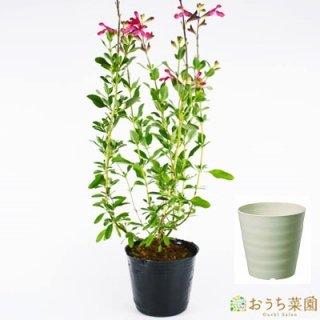 チェリーセージ 栽培 セット / ハーブ / 軽量 プラスチック 鉢 プランター