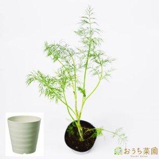 ディル 栽培 セット / ハーブ / 軽量 プラスチック 鉢 プランター