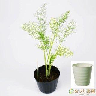 フェンネル 栽培 セット / ハーブ / 軽量 プラスチック 鉢 プランター