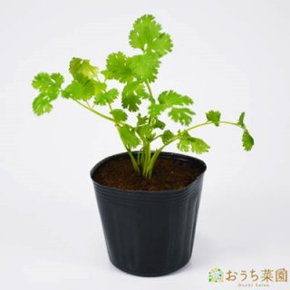コリアンダー / パクチー / 苗 / ハーブ 野菜 / 9cm ポット