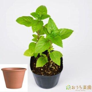 シナモン バジル 栽培 セット / ハーブ  / テラコッタ 鉢 プランター / 鉢受皿 付