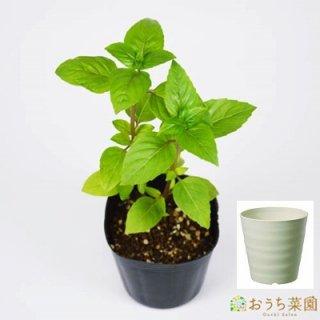 シナモンバジル 栽培 セット / ハーブ / 軽量 プラスチック 鉢 プランター