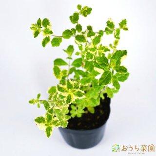 パイナップル ミント / 苗 / ハーブ 野菜 / 9cm ポット