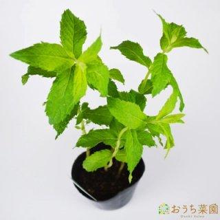 ホワイトペパーミント / 苗 / ハーブ 野菜 / 9cm ポット