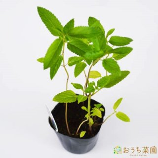 ボック セージ / 苗 / ハーブ 野菜 / 9cm ポット