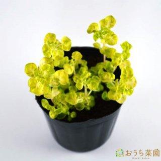 ゴールデンマジョラム / 苗 / ハーブ 野菜 / 9cm ポット