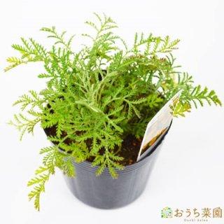 ダイヤーズ カモミール / 苗 / ハーブ 野菜 / 9cm ポット