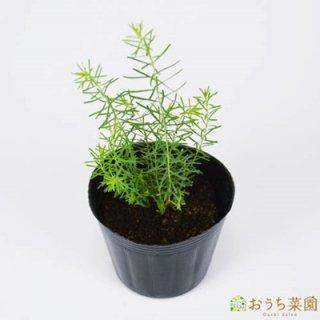 フラックス ペレニアル / 苗 / ハーブ 野菜 / 9cm ポット