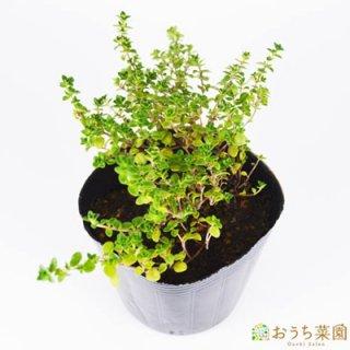 ドーンバレー タイム / 苗 / ハーブ 野菜 / 9cm ポット
