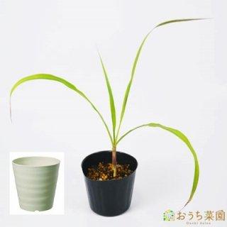 レモングラス 栽培 セット栽培セット / ハーブ / 軽量 プラスチック 鉢 プランター