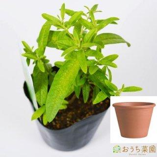 レモン バーベナ 栽培 セット / ハーブ  / テラコッタ 鉢 プランター / 鉢受皿 付