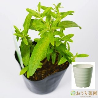 レモン バーベナ 栽培 セット / ハーブ / 軽量 プラスチック 鉢 プランター