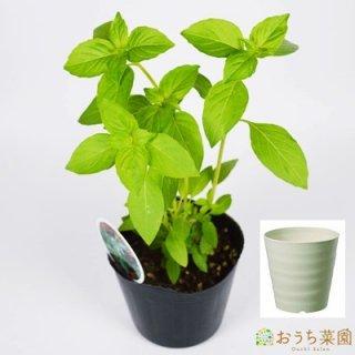 レモンバジル 栽培 セット / ハーブ / 軽量 プラスチック 鉢 プランター
