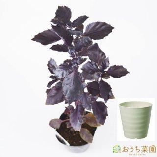 ダークオパールバジル 栽培 セット / ハーブ / 軽量 プラスチック 鉢 プランター