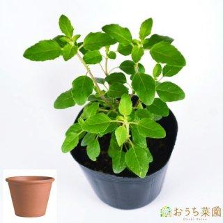 ホーリー バジル ( トゥルシー ) 栽培 セット / ハーブ  / テラコッタ 鉢 プランター / 鉢受皿 付