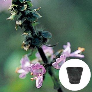 ホーリー バジル ( トゥルシー ) 栽培 セット / ハーブ / アートストーン 鉢 プランター / 貯水機能 付