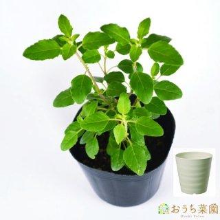 ホーリーバジル トゥルシー 栽培 セット / ハーブ / 軽量 プラスチック 鉢 プランター