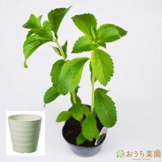 ステビア 栽培 セット / ハーブ / 軽量 プラスチック 鉢 プランター
